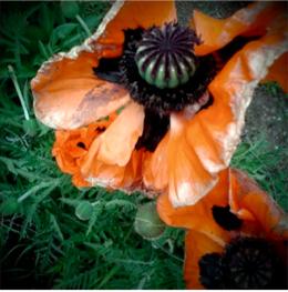 Davis iPhone flower
