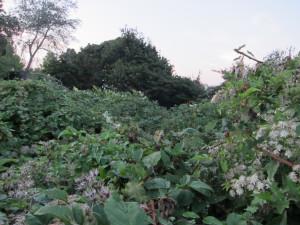 Wolf Creek Ravine blackberries