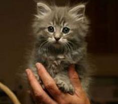SAS kitten